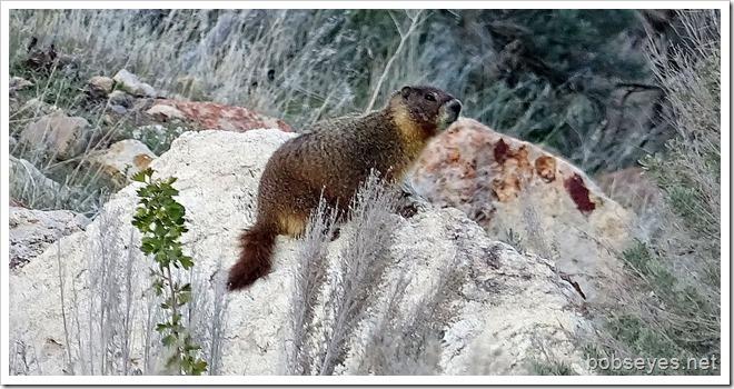 marmot2_thumb1