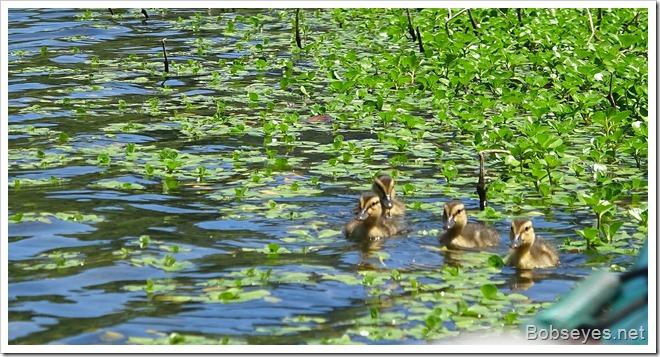 duckbabes
