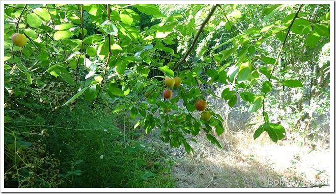 plums3
