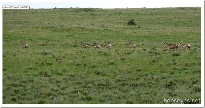 antelope9