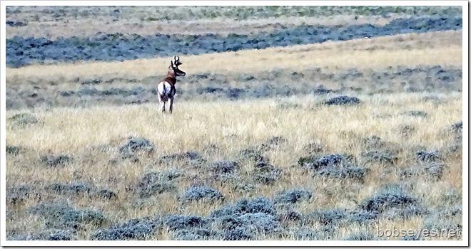 antelope_thumb1
