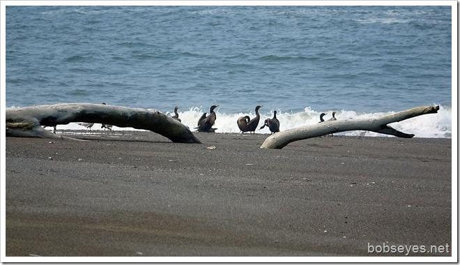cormorants8