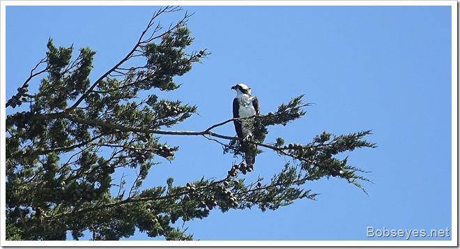 osprey14