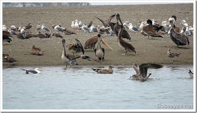pelbirds
