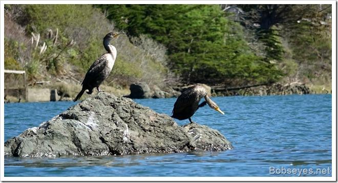 cormorants14