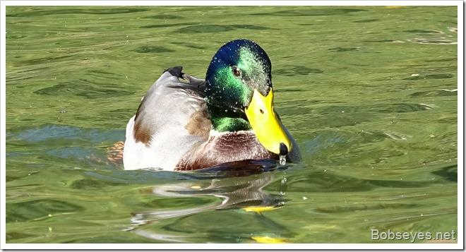duck10