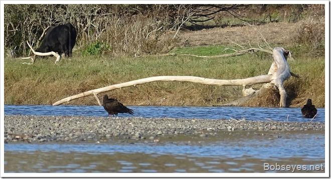 vultures12