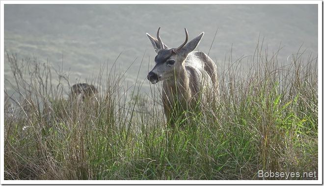 deer16