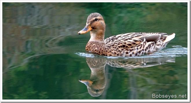 duck7