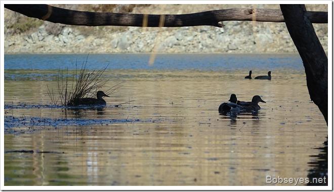 ducks12