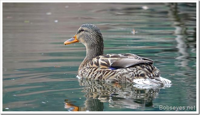 duck16