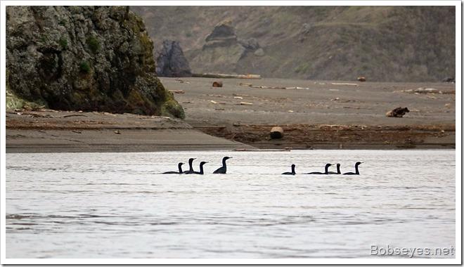 cormorants9