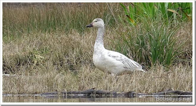 goose11