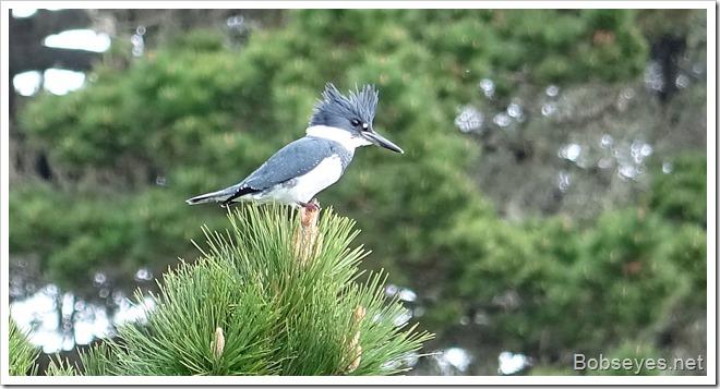 kingfisher15