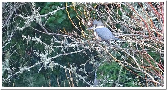 kingfisher16