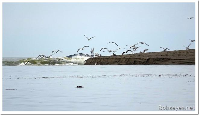 seagulls13