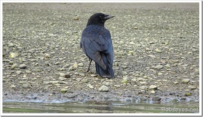 crow13