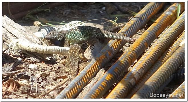 lizarda10