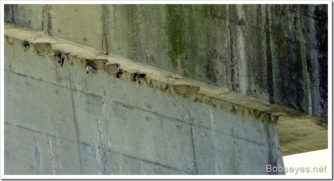 swallows7