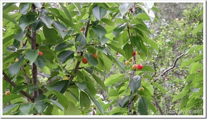 cherriestree