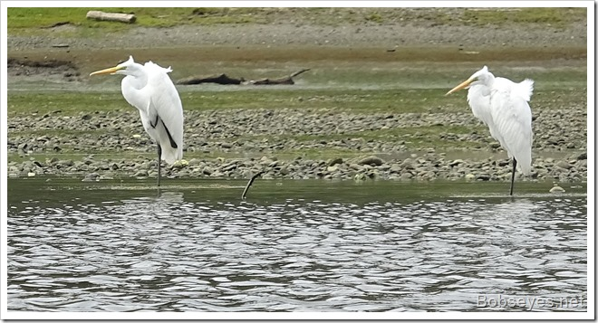 egrets3