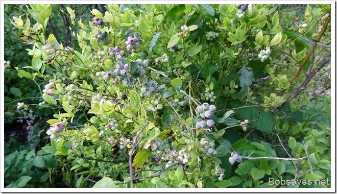 moreberry