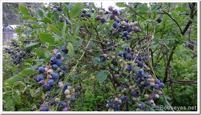 berries12