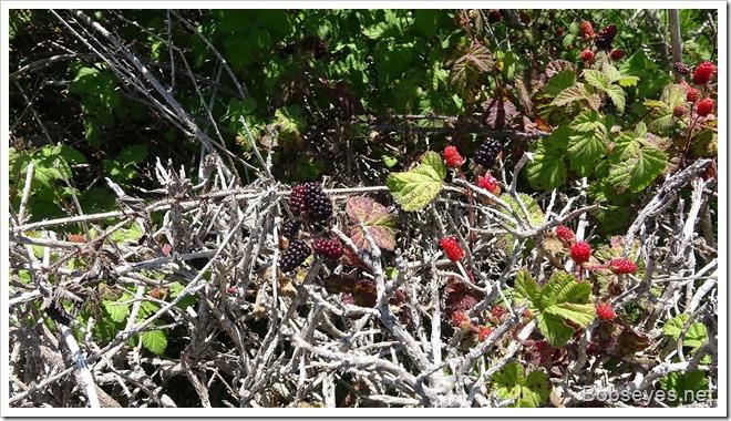 blackberries14