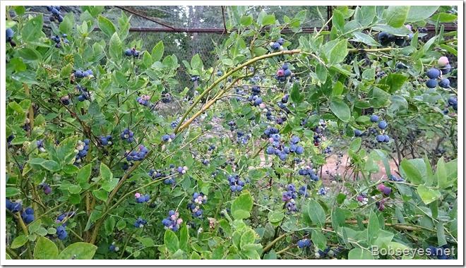 blueberry11