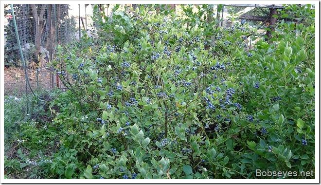 bluebush