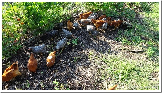 chickens15