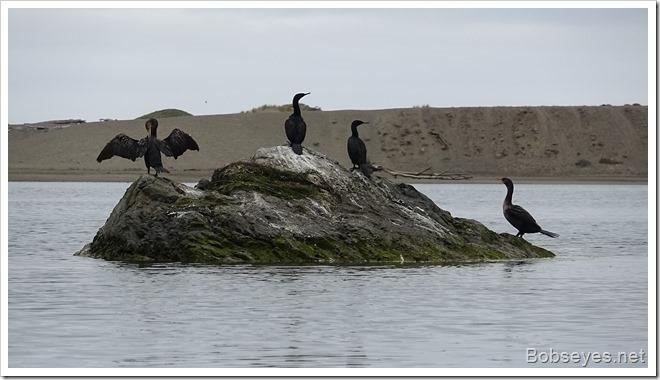 cormoratns2