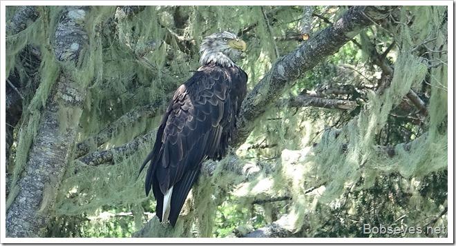 eagle13