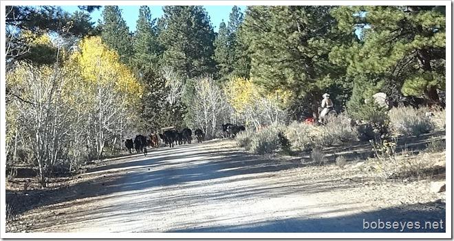 cattledrive4
