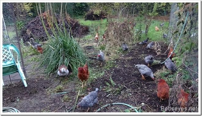 chicks8