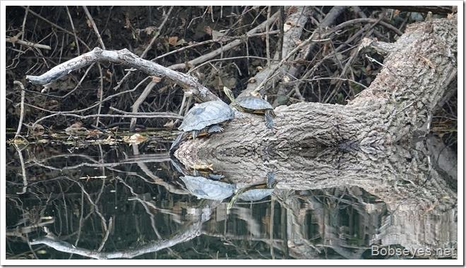 turtles11