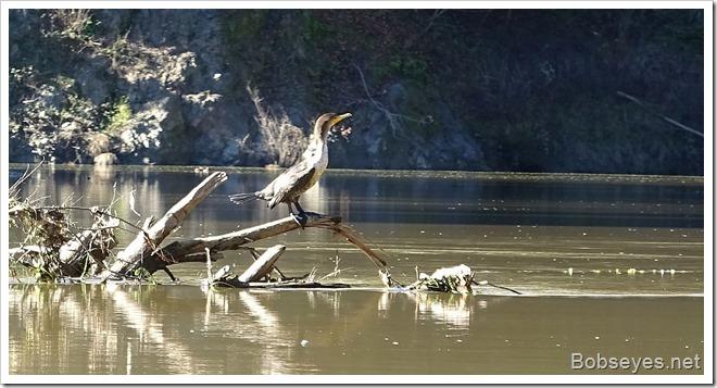 cormorant8