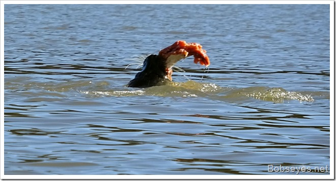sealfish14