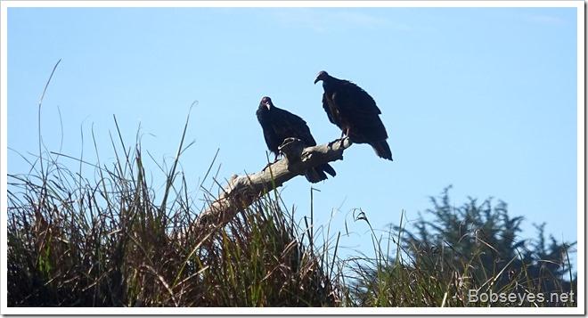 vultures3