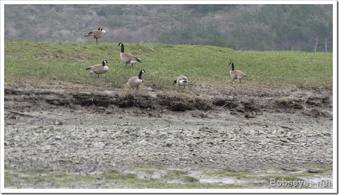 geese8a