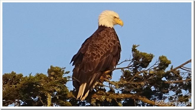 eagle14