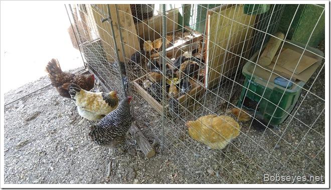 chickfeeder