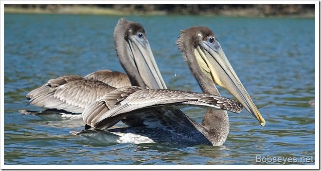 pelicans5