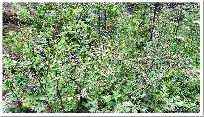 blueberries15
