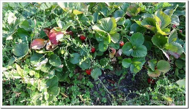 berries8