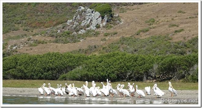 pelicans7