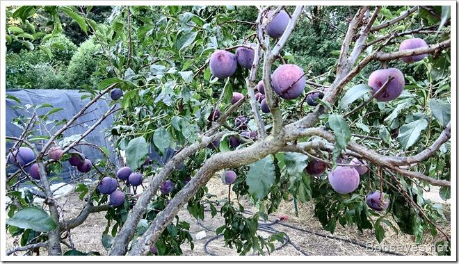 plums6