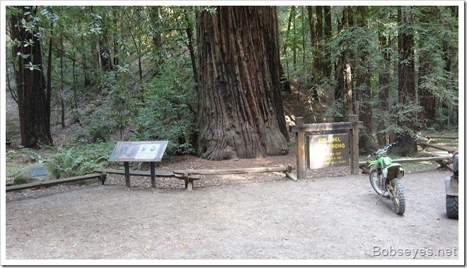 redwoodtree20