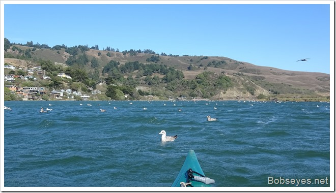 gulls12