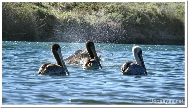 pelicans9